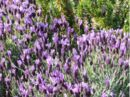1005728 lavender.jpg