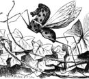 Rocking-Horse-Fly
