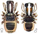 Ischyropsalididae