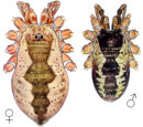 Oligolophinae