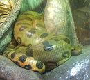 Common Anaconda