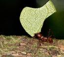 Levélvágó hangyák