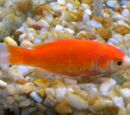 Goldfish species