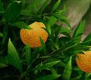 Orangios