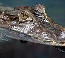 Crocodiles and Aligators