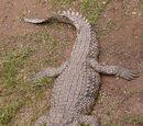 PeterTheMadagascarFan/Nile Crocodile Vs. Green Anaconda
