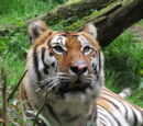 WWZ: Tiger