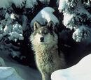 MacDuff Wolves