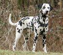 Horvát kutyafajták