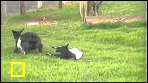 The Stiffy Goat (original narration by Randall)