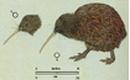 Apteryx australis small.png