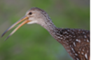 Limpkin 0795 small.png