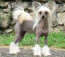 Kínai kopasz kutya