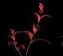 Hierba roja