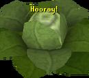 Brassica Prime