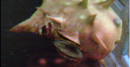 Infected blowfish.png