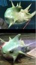 Blowfish-2.png