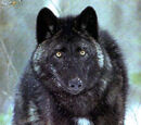 British colombian wolves