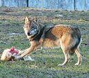 Eurasian wolves