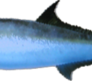 Longfin Yellowtail