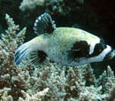 Masked Pufferfish