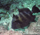 Stone Triggerfish
