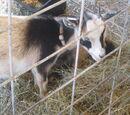 Bart The Goat