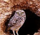 Höhlenkauz