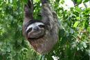 Linus three-toed sloth.png