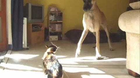 Honey the Great Dane & Lemon the Tortoiseshell Cat - Magic Moments Together