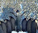 The Elders (Emperor Penguins)