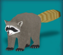 Cozumel Island Raccoon