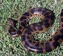Anaconda de manchas oscuras