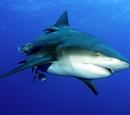 Tiburón Sarda