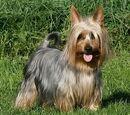 Australijski Silky Terrier