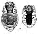 Lacinius ephippiatus