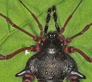 Gonyleptes saprophilus