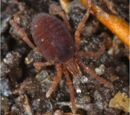 Pettalidae