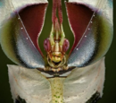 Mantis Diabólica