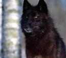 Wilk czarny
