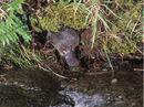 Platypus in its habitat.jpg