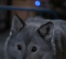 Huntsman's Wolf