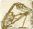 Scaphognathus crassirostris.jpg