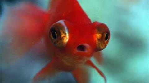 Caracteristicas del Goldfish (carassius)