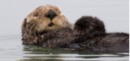 SeaOtter.png