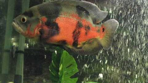 Caracteristicas del pez Oscar (Astronotus)