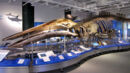 Blue Whale skeleton, Canadian Museum of Nature.jpg