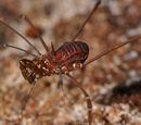 Epedanidae