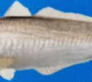 Japanese Whiting
