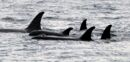 5 orcas in johnstone strait.jpg